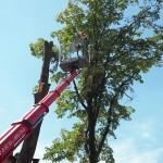 Fachgerechte, sichere Baumfällung.