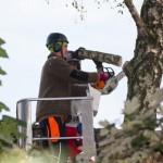 Professionelle Baumfällung mit Kettensteiger